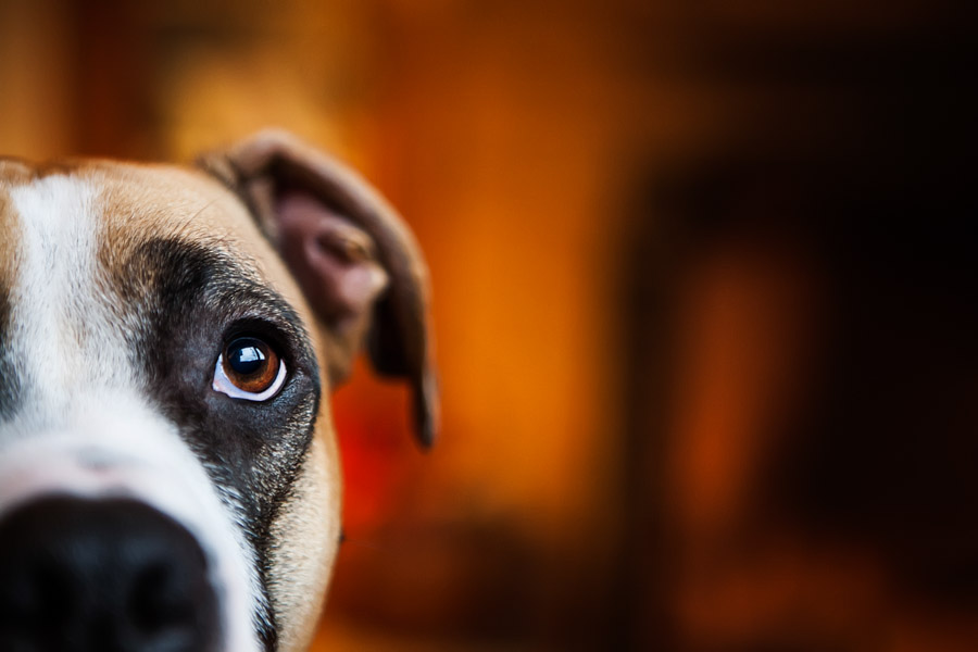 Boxer Dog Stock Dog Photo by cowbelly media