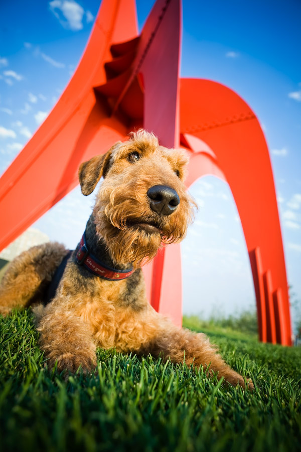 Airedale Terrier in Park Stock Dog Photo by cowbelly media