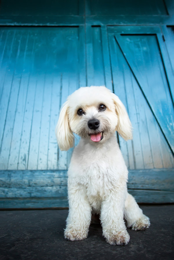 Havanese with Teal Blue Wall Stock Dog Photo // Fetch Stock